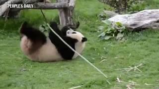 Real life #Kungfu #Panda!