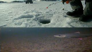 Подледная ловля хариуса на муху в озере, (подводные съемки). Рыбалка на хариуса в Мурманской области