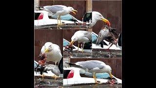 Roma selvaggia: Gabbiano che divora un Piccione - Wild Rome: Gull devouring a Pigeon