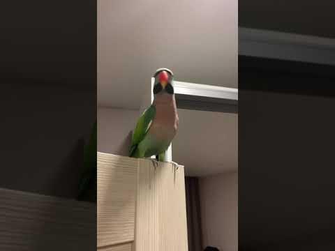 Розовогрудый вьетнамский попугай