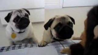 Pugs Frightened By Monkey