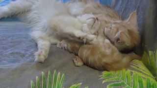 Kitty cats does not sleep.Котенок не дает спать котам.
