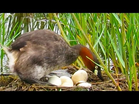 Water bird incubating eggs in floating nest