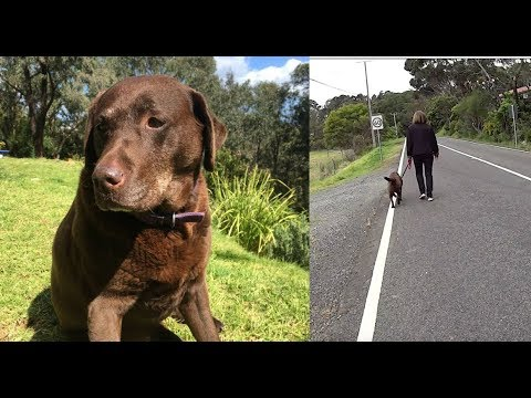 30 Minute Virtual Treadmill Walk with Millie the Chocolate Lab
