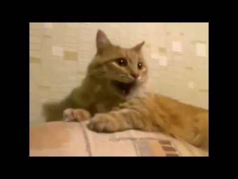 картинки кот смеётся
