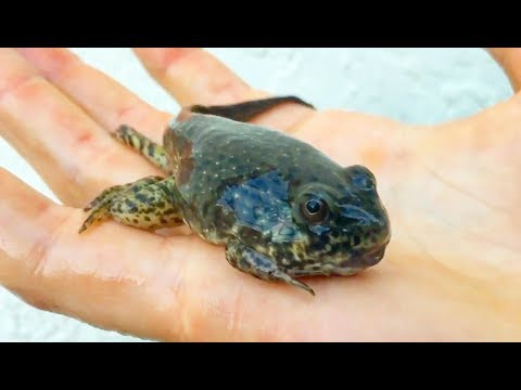 My Pet GOLIATH Bullfrog TADPOLE CREATURE EVOLVED! * WHAT IS THIS?*
