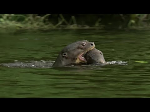 Otter Family Kills Caiman | Wild Brazil | BBC Earth