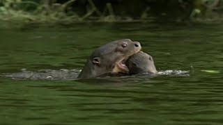 Otter Family Defeats Caiman in an Incredible Fight | BBC Earth