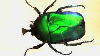 Домашний ручной жук Золотистая бронзовка