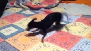 Wind Up Chihuahua