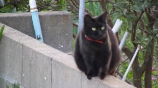 Black cat 黒猫 A Japanese cat.