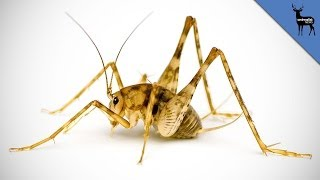 Are Cannibal Crickets Living in Your Home?