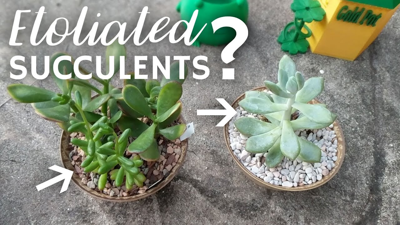 etoliated succulents not enough sun youtube. Black Bedroom Furniture Sets. Home Design Ideas