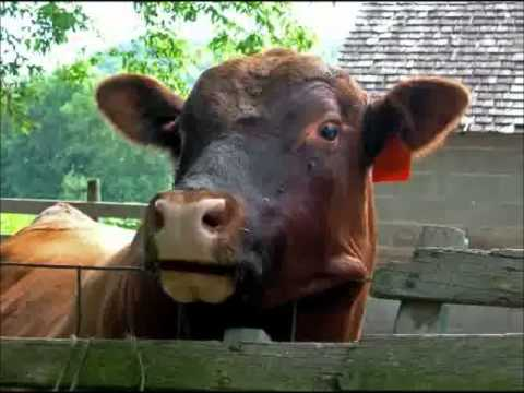 Cow Sings Happy Birthday E Card Greetings