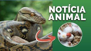 """PANTANAL! ONÇAS E OUTROS ANIMAIS EM PERIGO! COBRA BOTA OVOS SEM CONTATO COM MACHOS! """"NOTÍCIA ANIMAL"""""""