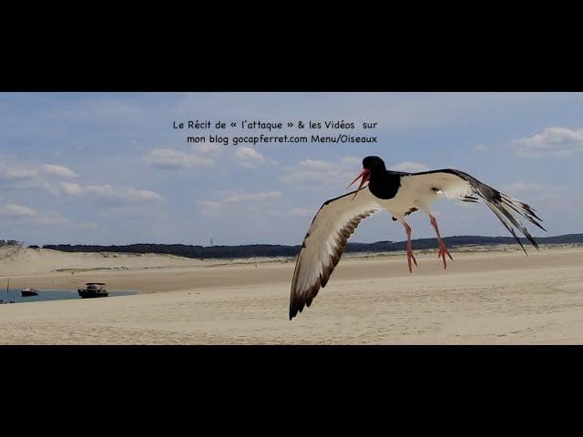 gocapferret.com Huitrier Pie Attaque  Slow Motion  au Banc d'Arguin Cap Ferret 4K