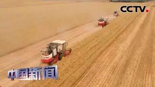 [中国新闻] 全国麦收过八成 小麦种植结构持续调优 | CCTV中文国际