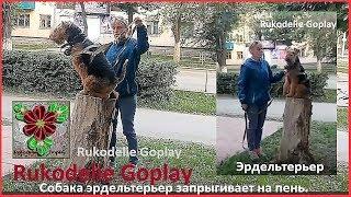Собака запрыгивает на пенёк. dog Эрдельтерьер Троицк дрессировка собак