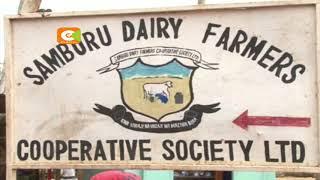 Wafugaji Samburu waanza kufuga ng'ombe wa kisasa