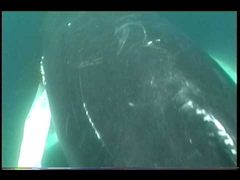 Marine Life  | Humpback Fly By