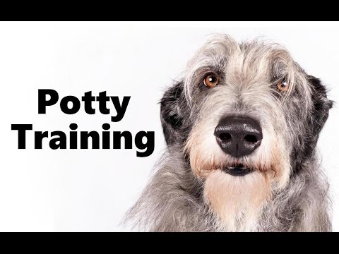 How To Potty Train A Scottish Deerhound Puppy - House Training Scottish Deerhound Puppies Fast