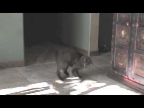Miles the Havana Brown Cat Part1