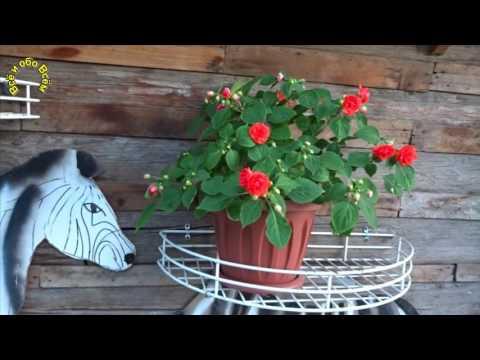 комнатные цветы фото ванька мокрый