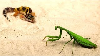 THE HUGE MANTIS ATTACKED THE GECKO - NEARLY SEL - BRUTAL FIGHT