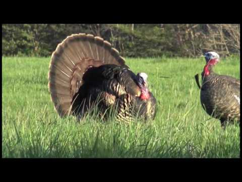 Spring Gobbler Hunting Can't Stop The Flop
