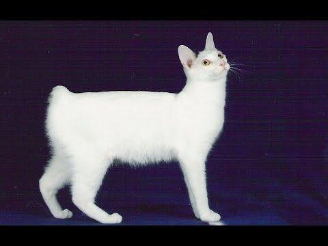 Японский бобтейл (Japanese bobtail cat) породы кошек( Slide show)!