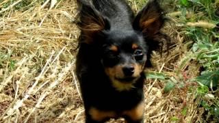 Порода собак. Пражский крысарик( Ратлик). Самая маленькая порода собак