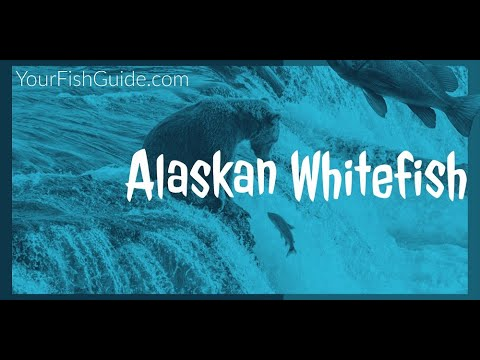 Feeding Habits Of Alaskan Whitefish ~ Catching Whitefish ~ Feeding Ecology Of Alaskan Whitefish
