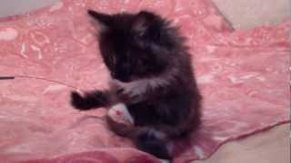 Норвежский Лесной котенок.MP4