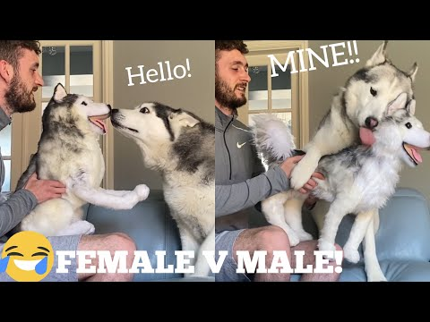 Will My Huskies Protect Me From A Clone Of Themselves Prank! [FUNNIEST REACTION EVER!!!]