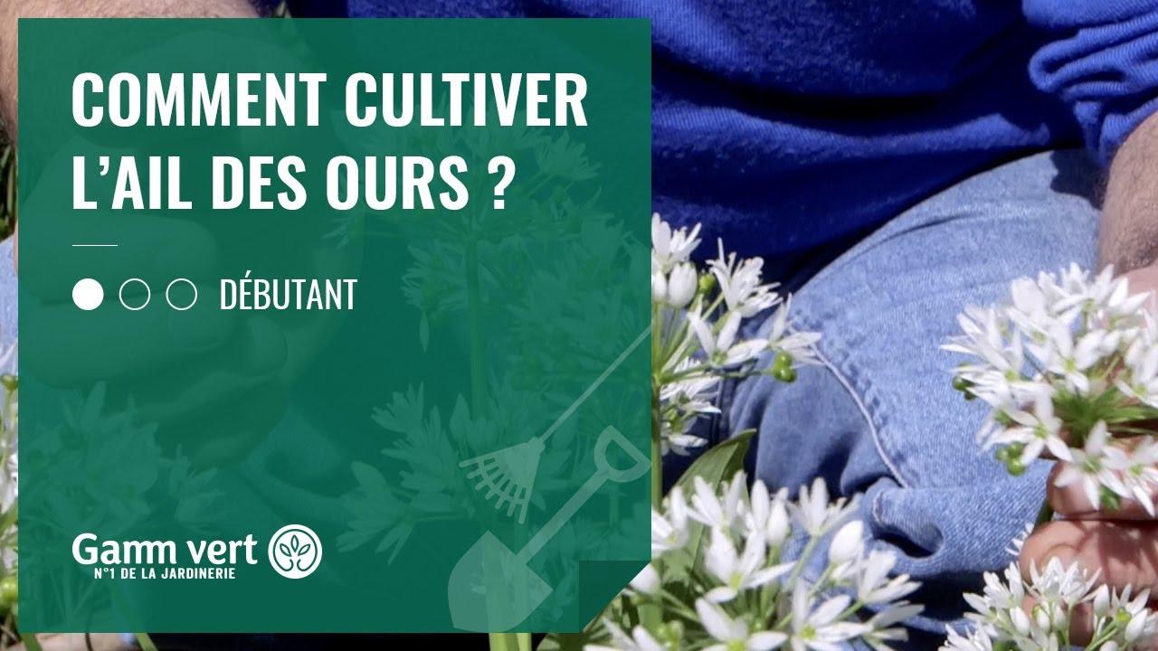 Comment Planter Du Muguet [tuto] comment cultiver l'ail des ours ? – jardinerie gamm vert