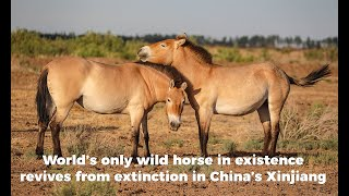 World's only wild horse in existence revives from extinction in China's Xinjiang