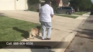 "Mini Aussie ""Mia""   Amazing Transformation   Dog Trainers San Antonio"