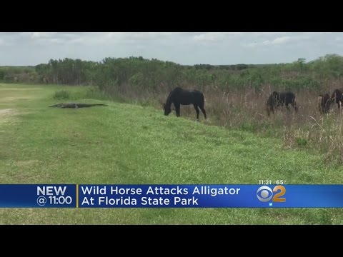 Wild Horse Attacks Alligator At Florida State Park