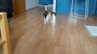 Beagle Flying Ears