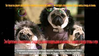 Sobaka TV 21 Порода Мопс
