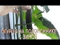 Как вырастить огурцы на подоконнике зимой. Выращивание огурцов на подоконнике