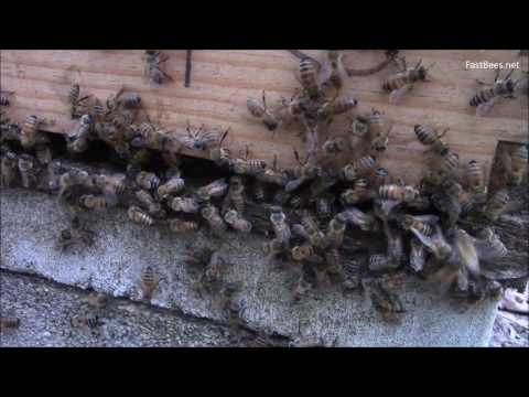 War between bee colonies