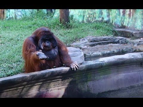 Orangutan Asks For Banana Then Throws Back Peel