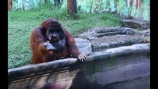 Orangutan Asks for Banana Then Throws Back Peel