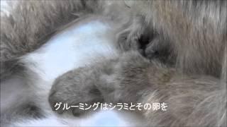 地獄谷野猿公苑のニホンザル グルーミング(毛づくろい) サルたちが互...