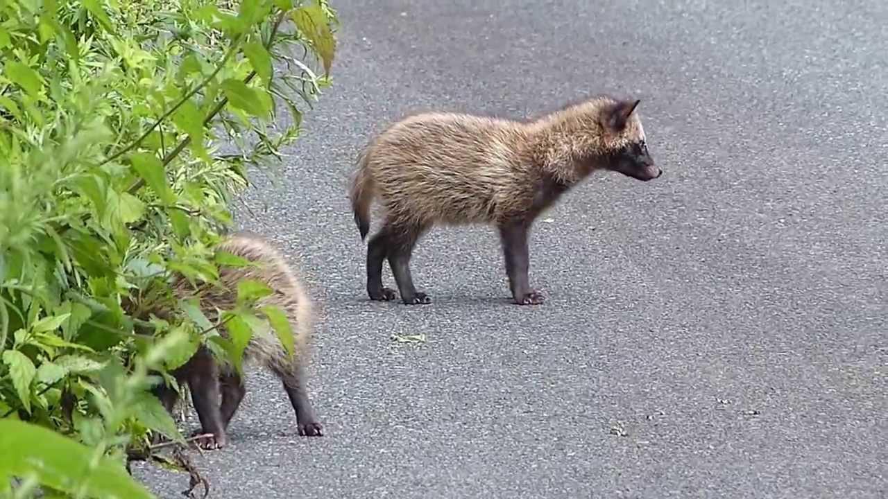 It's a dog… It's a raccoon… It's a Tanuki! | Invasive