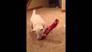 Wilson The Westie Opening Gifts!