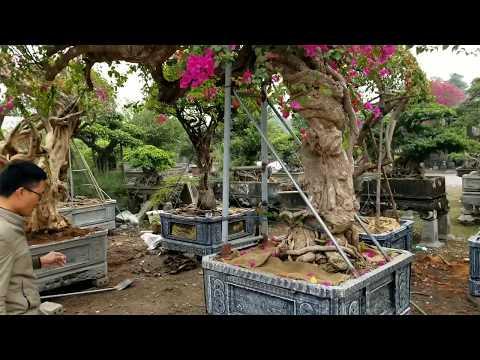 Hoa Giấy Mỹ Khổng Lồ đắt Nhất Việt Nam? Giá Lên Tới Hơn Nửa Tỉ đồng (Giant Lesser Bougainvillea)
