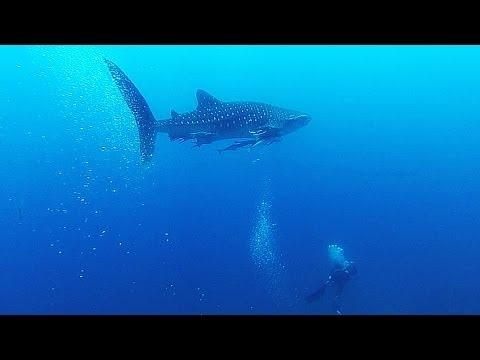 Koh Tao Whale Shark Tour
