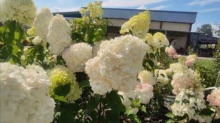 Обзор цветущих метельчатых  гортензий на 1 августа